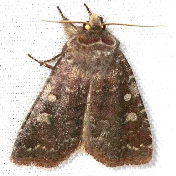 10368 Thinker Moth yard 4-8-13
