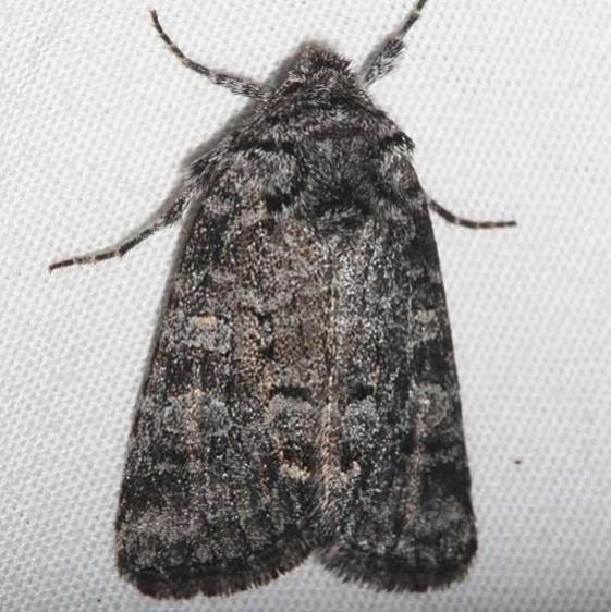 10376 Lacinipolia agnata BG tentative Mueller St Pk Colorado 6-21-17 (27)_opt