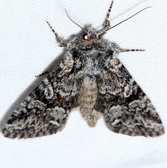 10381 Lacinipolia naevia Rocky Mountain Natl Pk Colorado 6-22-17 (12)_opt