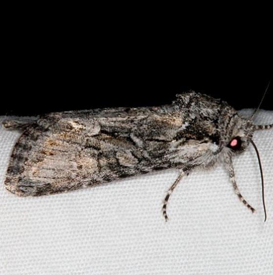 10393 Lacinipolia teligera Pine Lake Dixie Natl Forest Utah 5-31-17 (28)_opt