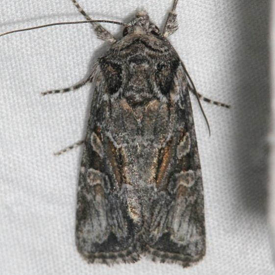 10394 Lacinipolia vicina Black Canyon at the Gunnison Natl Pk Colorado 6-14-17 (20)_opt
