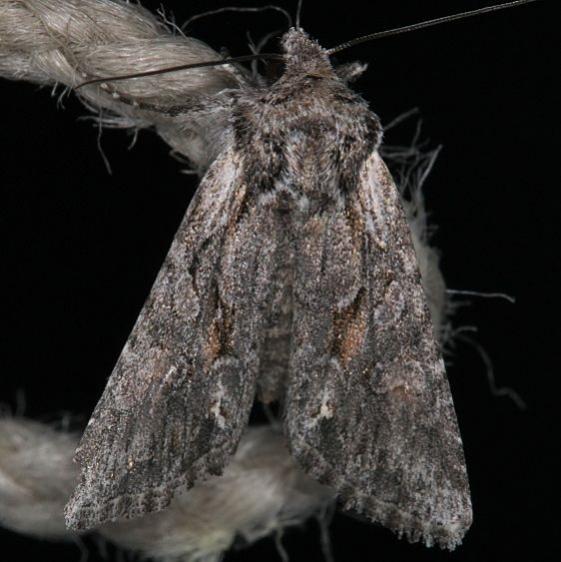 10395.1 Lacinipolia sareta Mesa Verde National Pk Colorado 6-9-17 (24)_opt