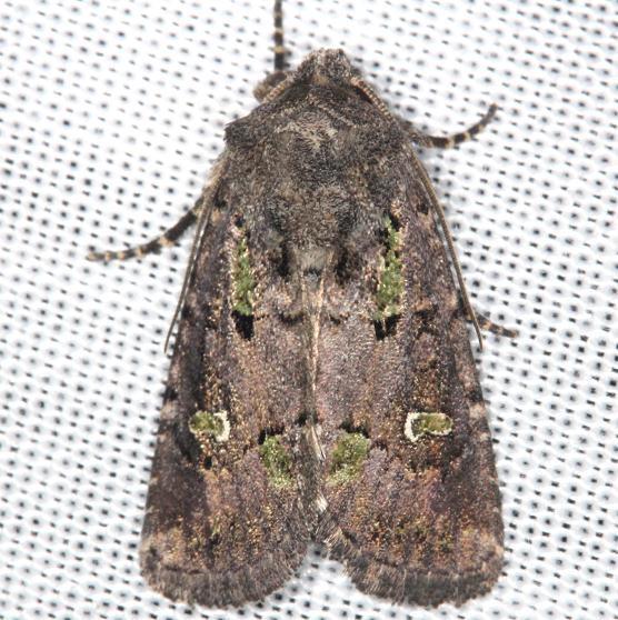 10397 Bristly Cutworm Moth yard 8-6-13