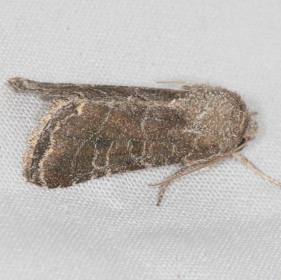 10403 Lacinipolia erecta Campsite 119 Falcon St Pk 10-22-16 (1)_opt