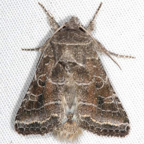 10403 Lacinipolia erecta Campsite 119 Falcon St Pk Texas 10-24-16_opt