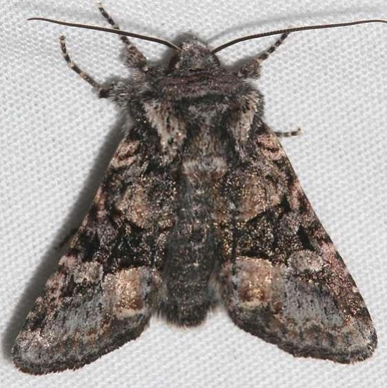 10407 Lacinipolia davena Rocky Mtn Natl Pk Colorado 6-24-17 (12)_opt