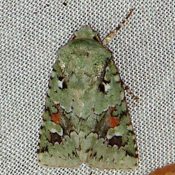 10411 Lacinipolia laudabilis Benson State Park Texasa 10-16-08