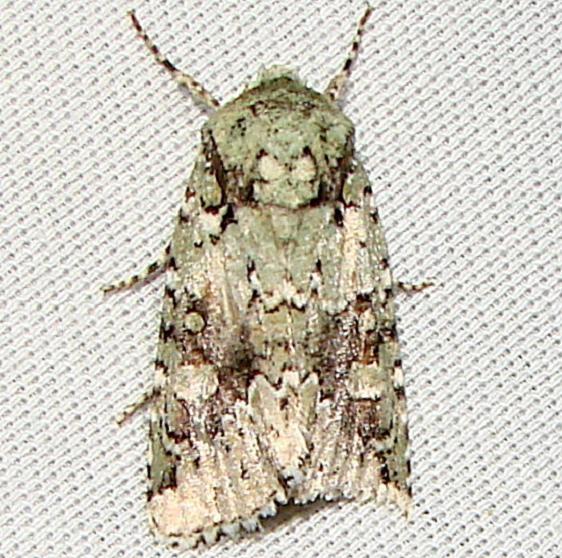 10411 Laudable Arches Moth Payne's Prairie St Pk 3-23-12