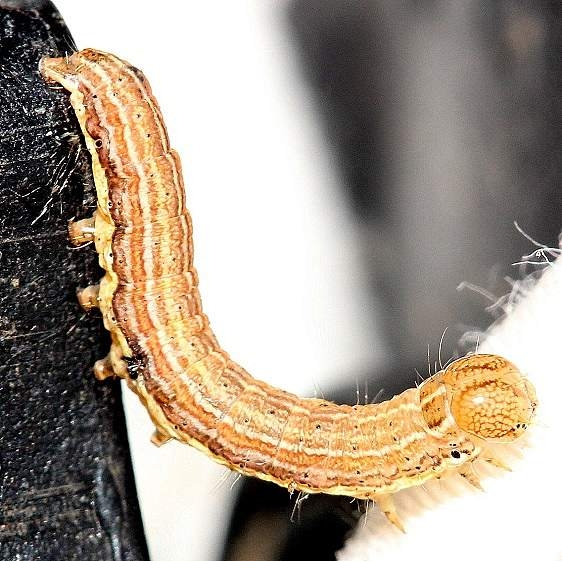 10438 Armyworm Moth Caterpillar yard 8-14-12_opt