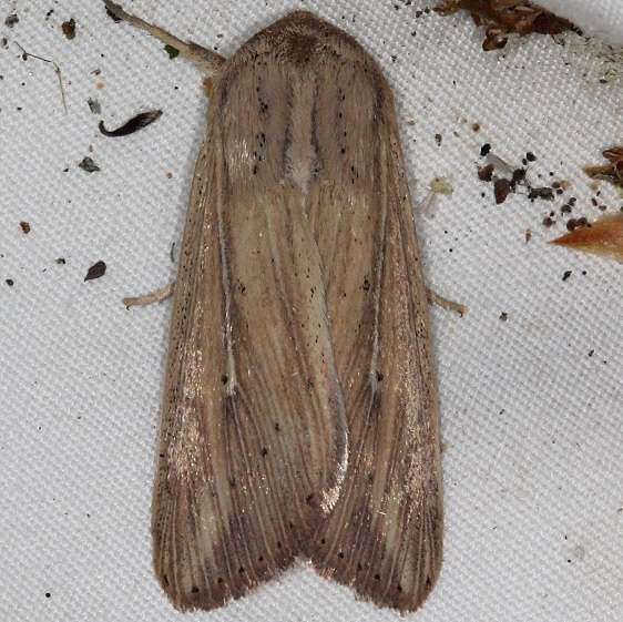 10446 Many-lined Wainscot yard 6-4-15