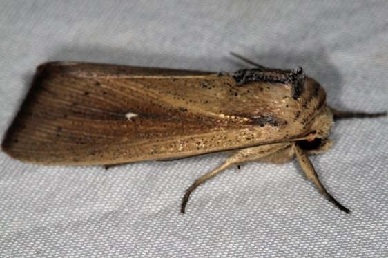 10453.1 Forage Armyworm Moth River Junction Withalecoochee St Forest Fl 2-21-17_opt