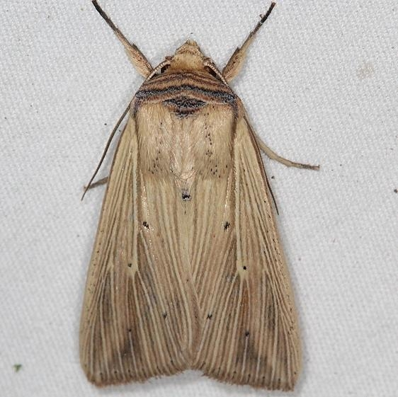 10456 Adjutant Wainscot Moth remove old yard 8-24-17 (1)_opt