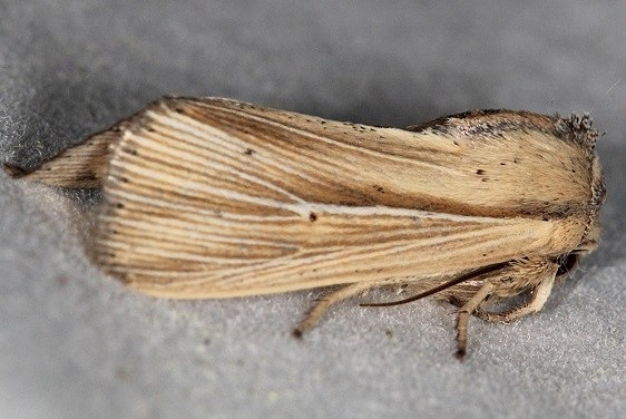 10456 Adjutant Wainscot Moth yard 5-31-16 (4)_opt