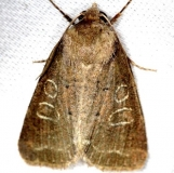 10502 Intractable Quaker Moth yard 4-17-13