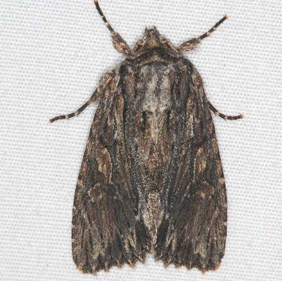 10521 Confused Woodgrain Moth Yard 5-5-15 (4)_opt