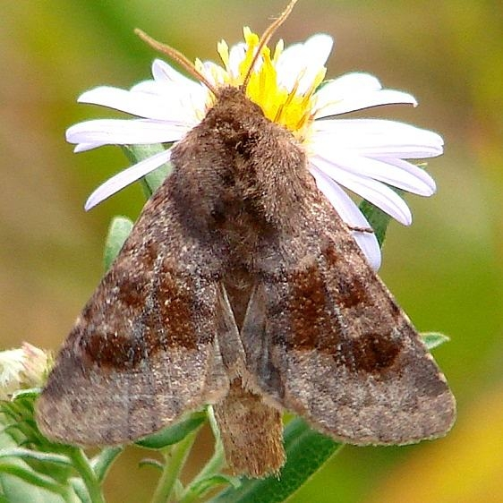 10524 Bronze Cutworm Moth Claridon Prairie by Rt309 9-13-14