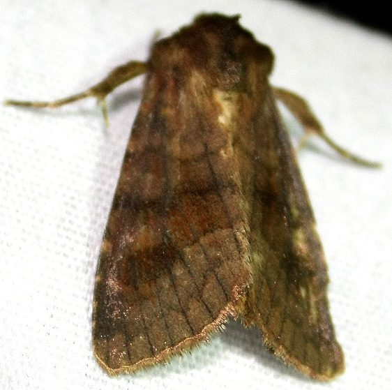10524 Bronzed Cutworm Adams Co 9-13-09