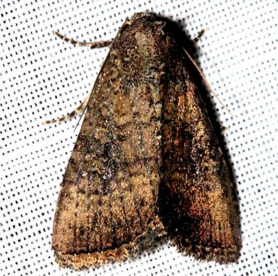 10532.1 Southern Scurfy Quaker Moth Hammock Everglades Natl Pk 3-10-13