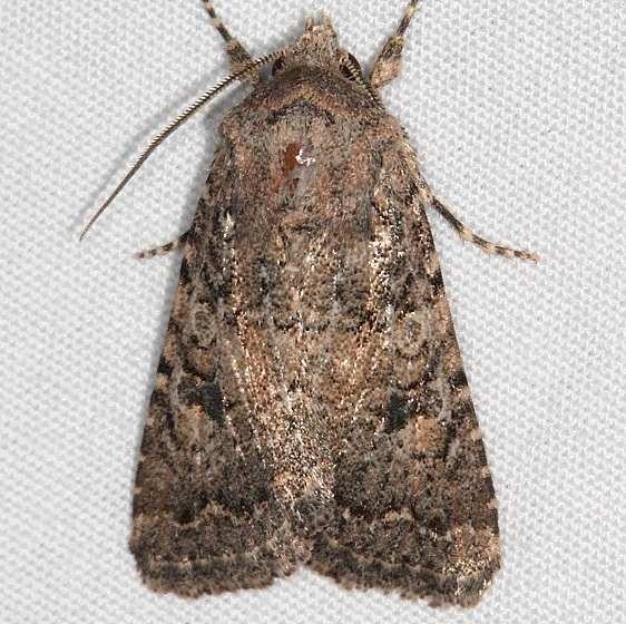 10533 Alder Quaker Moth Fool Hollow Lake St Pk Ariiz 5-23-17 (117)_opt