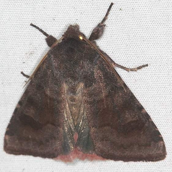 10534 Bronze Cutworm Moth BG yard 9-15-17 (1)_opt