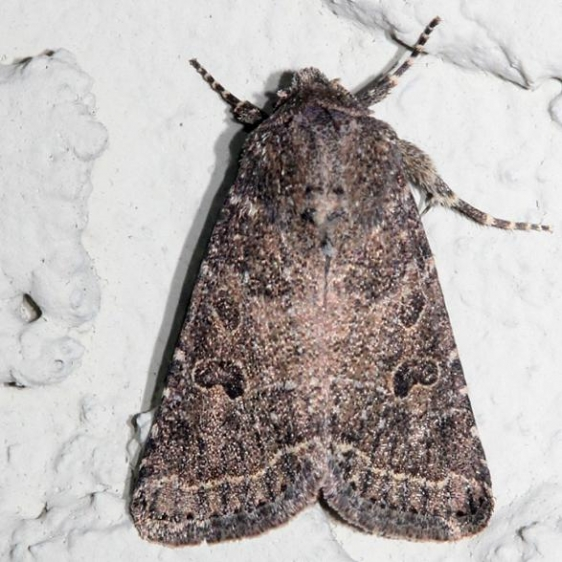 10563 Ruddy Quaker Moth Alexander Springs Ocala Natl Forest 3-18-13