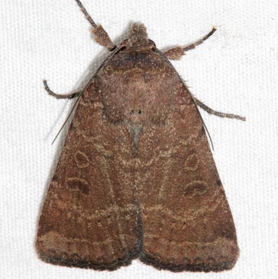 10563 Ruddy Quaker Moth Colorado National Monument 6-17-17 (92)_opt