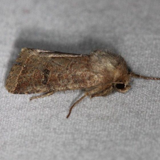 10563 Ruddy Quaker Moth Thunder Lake UP Mich 6-21-14