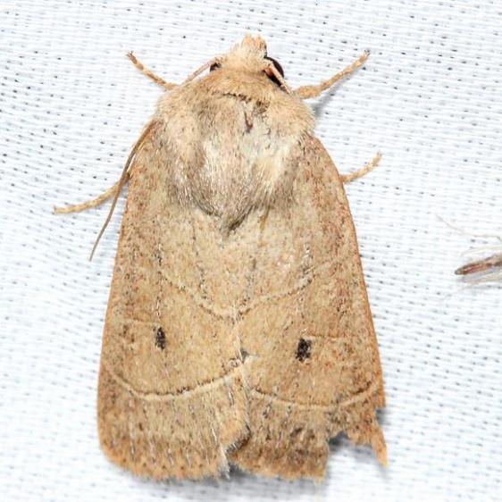 10567 Sheathed Quaker Moth Alexander Springs Ocala Natl Forest 3-18-13