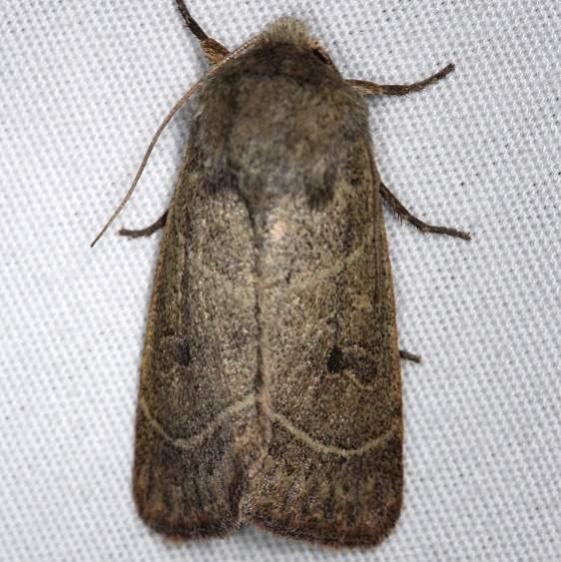 10567 Sheathed Quaker Moth Thunder Lake UP Mich 6-21-14