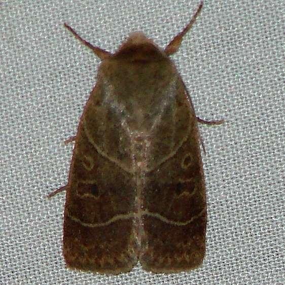 10567 Sheathed Quaker Moth Ulolonche culea yard 5-13-10