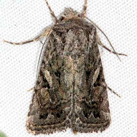 10574 Ulolonche orbiculata BG Fool Hollow St Pk Ariz 5-23-17