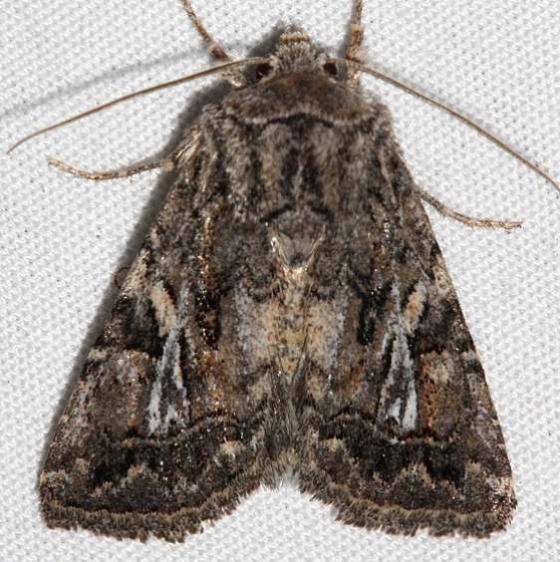 10574 Ulolonche orbiculata Colorado National Monument 6-17-17 (16)_opt