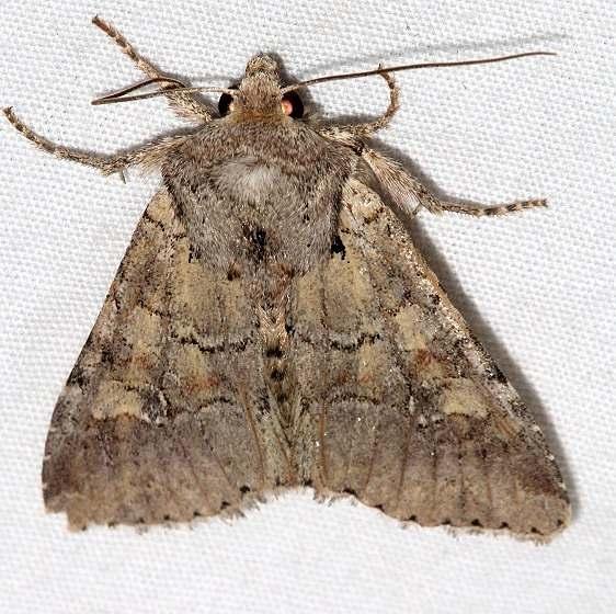 10582 Pseudorthodes irrorata tentative Black Canyon at the Gunnison Natl Pk Colorado 6-15-17 (92)_opt