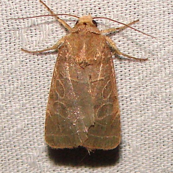 10585 rustic Quaker Moth Paynes Prairie St Pk 3-20-12