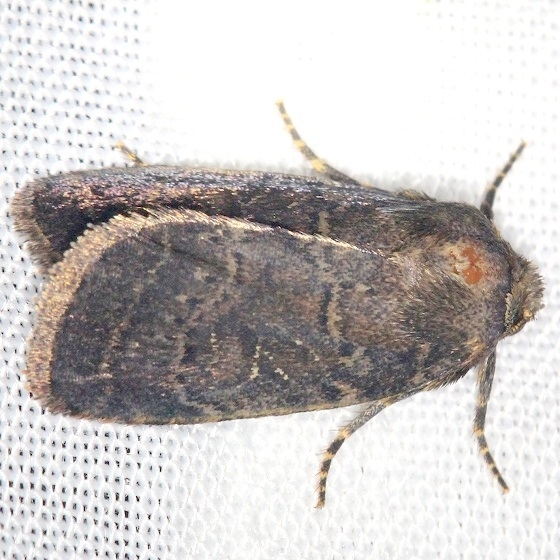 10585-Rustic-Quaker-Moth-Shawnee-St-Pk-Oh-6-15-13