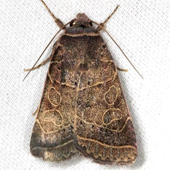 10585 Rustic Quaker Moth yard 8-7-13