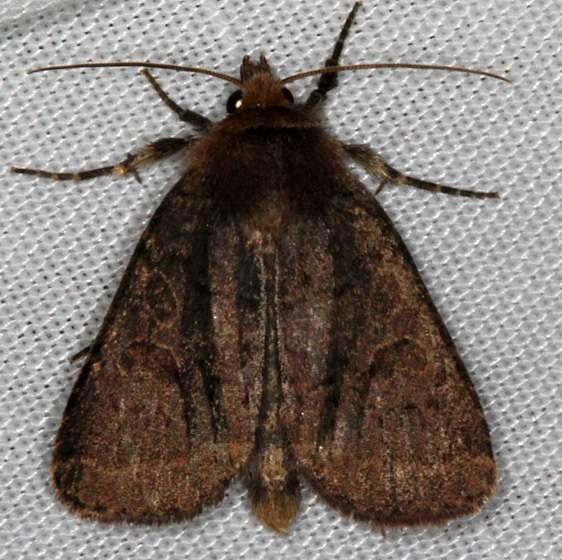 10587 Cynical Quaker Moth Thunder Lake UP Mich 6-19-15