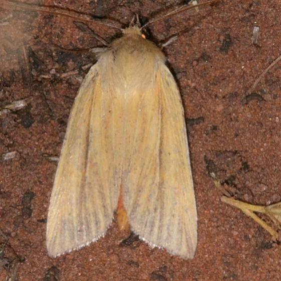 10613 Neleucania praegracilis Colorado National Monument 6-18-17 (20)_opt