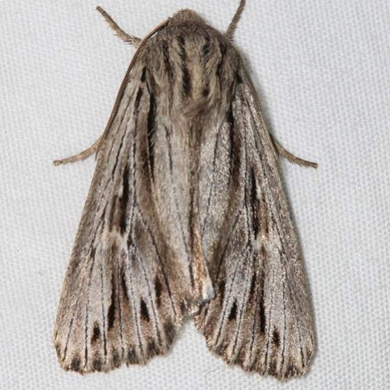 10632 Tricholita bisulca Colorado National Monument 6-18-17 (65)_opt