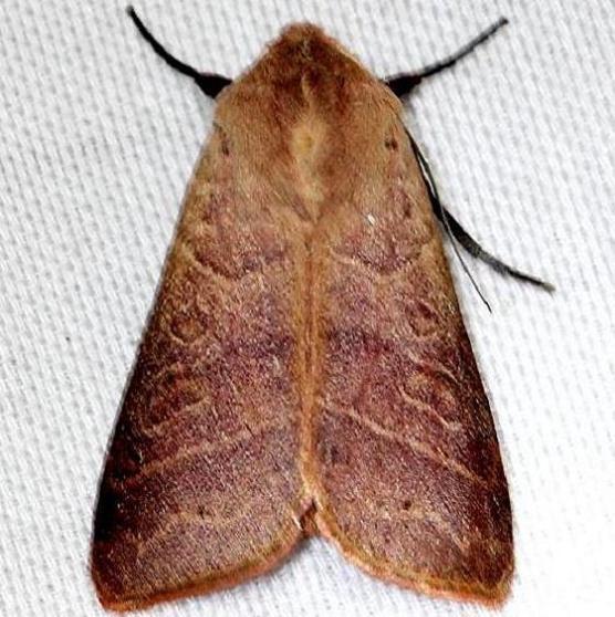 10633 Marilopteryx lutina Everglade Natl Pk Nike Missle Rd 3-5-13