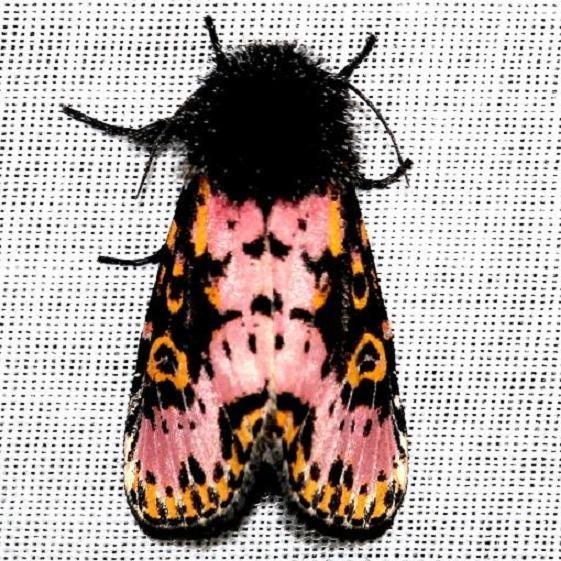 10640 Spanish Moth Everglade Natl Pk Nike Missle Rd 3-5-13