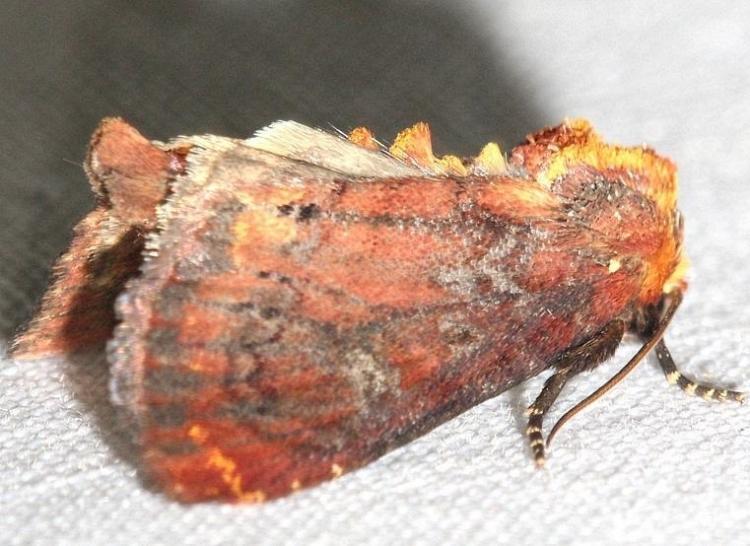 10266 German Cousin Moth yard 6-20-12