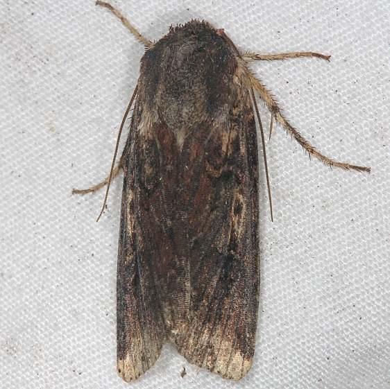 10289 Goodell's Arches moth tentative Oscar Scherer St Pk 3-14-15