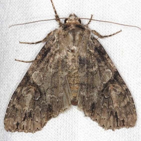 10291 Fluid Arches Moth Shawnee St Pk Oh 6-14-13