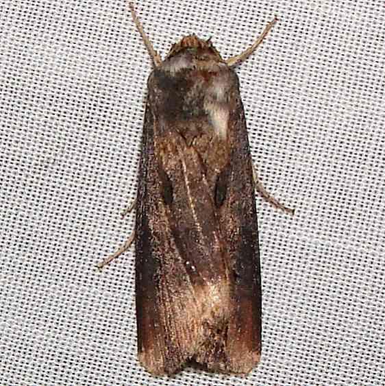 10651 Venerable Dart Moth Anita's yard Orinda Calf 8-28-11 (2)_opt