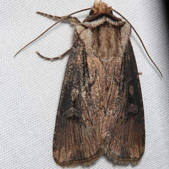 10658 Agrotis stigmosa Rocky Mountain Natl Pk Colorado 6-22-17 (1)_opt