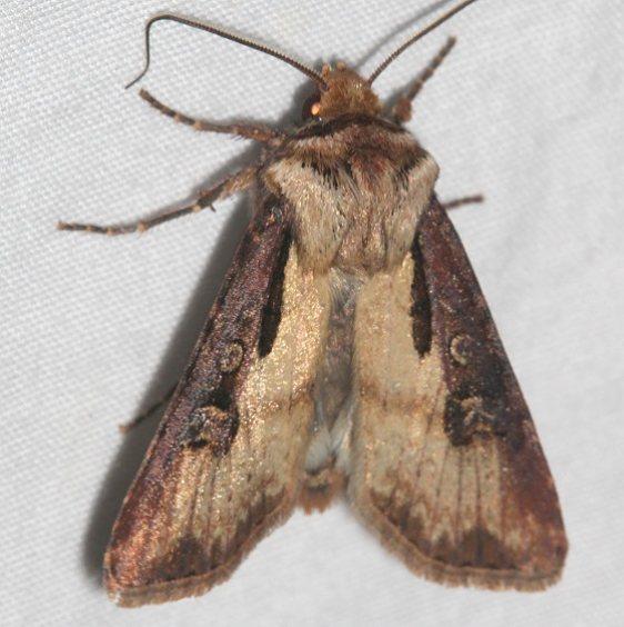 10659 Voluble Dart Moth Colorado Natl Monument 6-16-17 (329)_opt