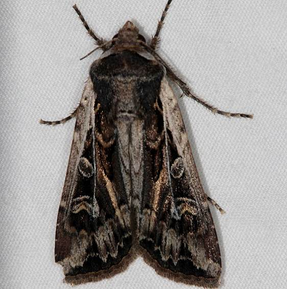 10731 Euxoa auxiliaris Mesa Verde Natl Pk Colorado 6-10-17 (5)_opt