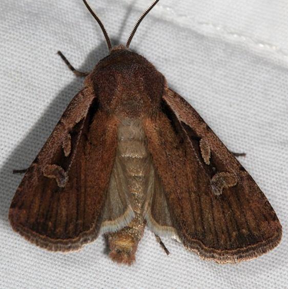 10733 Euxoa terrealis Mesa Verde National Pk Colorado 6-9-17 (36)_opt