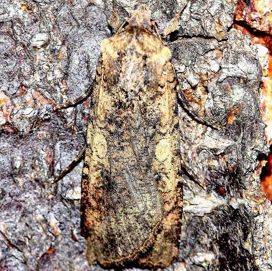 10805 Tessellate Dart Moth yard 7-25-12